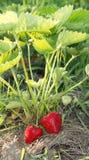 Röda och mogna jordgubbar i trädgården Royaltyfri Foto