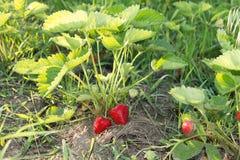 Röda och mogna jordgubbar i trädgården Arkivbild