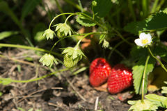 Röda och mogna jordgubbar i trädgården Royaltyfria Foton
