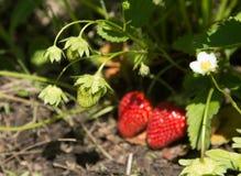 Röda och mogna jordgubbar i trädgården Royaltyfria Bilder