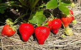 Röda och mogna jordgubbar i trädgården Fotografering för Bildbyråer