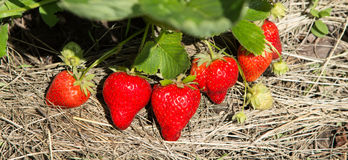 Röda och mogna jordgubbar i trädgården Arkivbilder