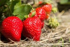 Röda och mogna jordgubbar i trädgården Royaltyfri Fotografi