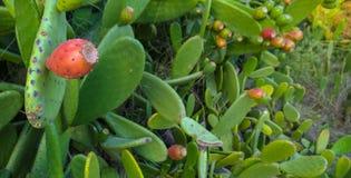 Röda och mogna taggiga päron Arkivfoton