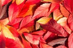Röda och orange Autumn Leaves Background Royaltyfri Fotografi