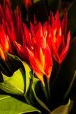 Röda och orange Heliconia psittacorumblommor Arkivbilder
