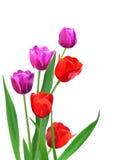 Röda och purpura tulpan Arkivbild