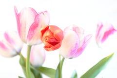Röda och purpurfärgade tulpan på vit bakgrund Royaltyfri Bild