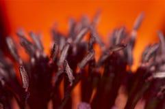 Röda och purpurfärgade vallmostamens Arkivfoto