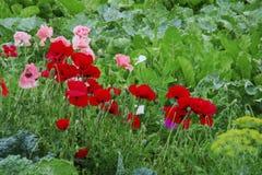 Röda och rosa blomma vallmo bland busksnår av gräs royaltyfria foton