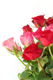 Röda och rosa ro på vit Arkivfoton