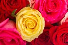 Röda och rosa rosor på tabellen Fotografering för Bildbyråer