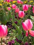 Röda och rosa tulpan i trädgården Royaltyfria Foton