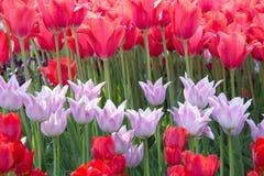 Röda och rosa tulpan på en rabatt Royaltyfria Bilder