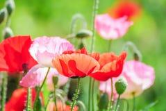 Röda och rosa vallmoblommor i ett fält, röd papaver arkivbild