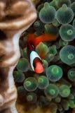 Röda och svarta Anemonefish Arkivbilder