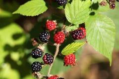 Röda och svarta björnbärfrukter Arkivfoto