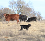 Röda och svarta kor med den nyfödda kalven arkivbild