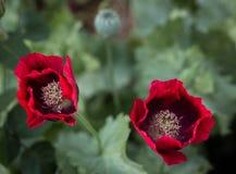 Röda och svarta soldatvallmo omkring som ska öppnas upp i en trädgård fotografering för bildbyråer