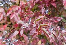 Röda och våta sidor för Mahoniaaquifolium Royaltyfria Foton