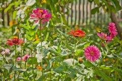 Röda och violetta trädgårds- blommor marguerite sunlights Royaltyfria Bilder