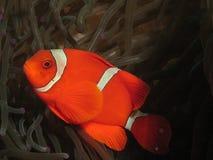 Röda och vita anemonefish royaltyfria bilder