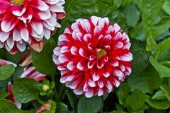 Röda och vita dekorativa dahliablommor royaltyfri bild