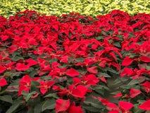 Röda och vita julstjärnajulblommor arkivbild