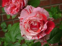Röda och vita rosor mot tegelstenar Royaltyfria Bilder