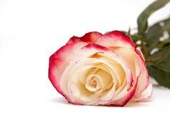 Röda och vita rosor på vit bakgrund Royaltyfri Bild