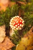 Röda och vita svampar, skogsmarker, Norfolk, England UK arkivbild