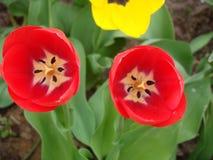Röda och vita tulpan, precis når att ha blommat i vår Arkivbild
