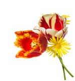 Röda och vita tulpan som isoleras på den vita bakgrunden Arkivfoton