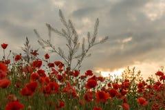 Röda och vita vallmo mot klar himmel Arkivbild