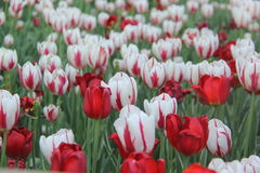 Röda och vittulpan Royaltyfria Foton