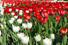 Röda och vittulpan Royaltyfri Fotografi