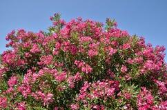 Röda oleanderblommor Arkivfoto