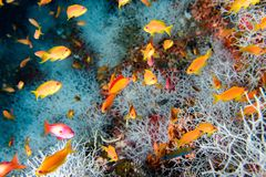 Röda orange anthias, medan dyka Maldiverna arkivfoto
