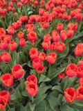 Röda orange tulpan Fotografering för Bildbyråer