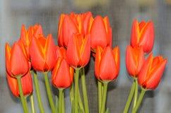 Röda orange tulpan blommar tätt upp med gula marginaler, slut upp arkivfoton