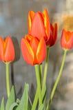 Röda orange tulpan blommar tätt upp med gula marginaler, slut upp arkivbild