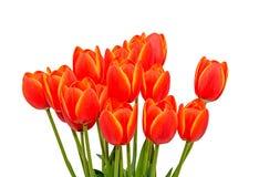 Röda orange tulpan blommar tätt upp med gula marginaler, slut upp royaltyfria foton