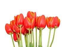 Röda orange tulpan blommar tätt upp med gula marginaler, slut upp royaltyfri foto