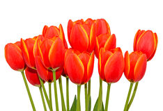 Röda orange tulpan blommar tätt upp med gula marginaler, slut upp royaltyfria bilder