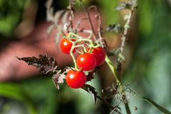 Röda organiska tomater i trädgården arkivbilder