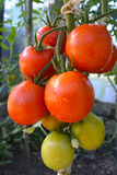 Röda organiska tomatväxter arkivfoton