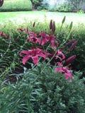 Röda orientaliska liljor Royaltyfri Fotografi