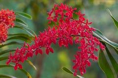 Röda orkidéblommor Royaltyfri Foto