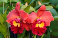 Röda orkidéblommor - Cattleya Fotografering för Bildbyråer