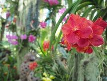 Röda orkidér, abstrakt naturbakgrund Royaltyfria Foton